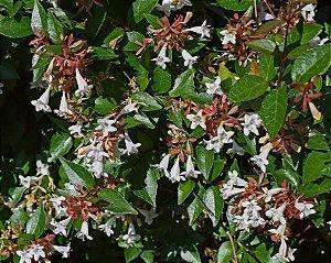 Muda Abélia cerca viva arbustiva (Abélia grandiflora)