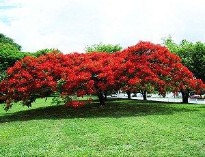 Muda de Flamboyant Vermelho