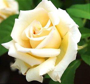 Muda Rosa Champanhe  Enxertada Preste a dar flor