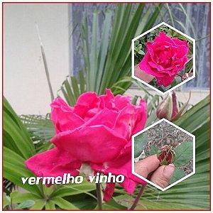 Muda Rosa Vermelho vinho  Enxertada Preste a dar flor
