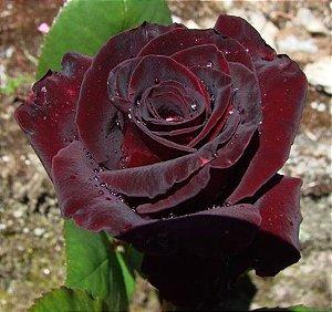 Muda Rosa Principe  Negro Enxertada Preste a dar flor