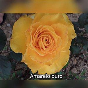 Muda Rosa Amarelo Ouro Enxertada Preste a dar flor
