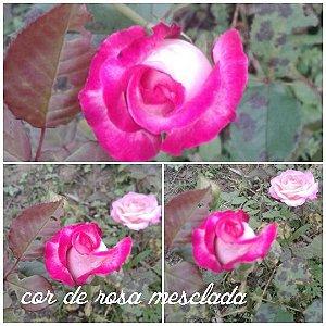 Muda Rosa Pink Mesclada Enxertada Preste a dar flor
