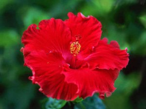 Muda Hibisco  Hibiscus Vermelho Preste a da flor