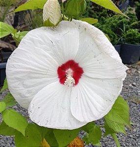 Muda Hibisco  Branco Gigante Preste a da flor