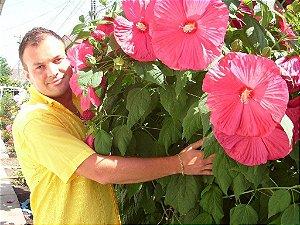 Muda Hibisco Gigante Hibiscus Moscheutos Rosa