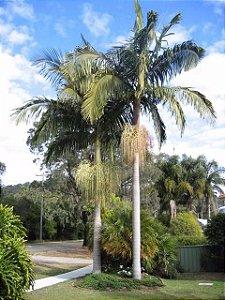 kIT 10 Mudas Palmeira Real
