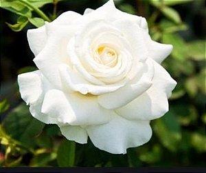 Muda Rosa Branca Enxertada Preste a dar flor