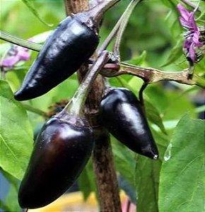 Muda Pimenta Preta  Hungara Black