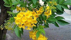 Muda De Ipê Amarelo Mirim (de Jardim)  Anão