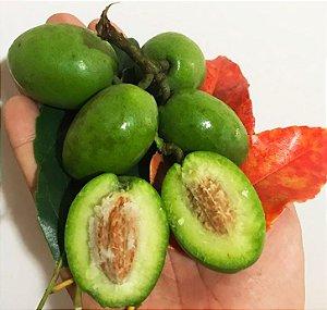 Muda Azeitona do Ceilão ( Elaeocarpus serratus )