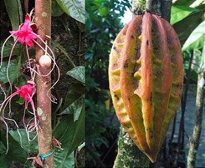 Muda Cacau Jacaré ou Carambola Marron – Herrania balaensis