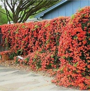 Muda Trombeta Japonesa cor Laranja (Campsis grandiflora)