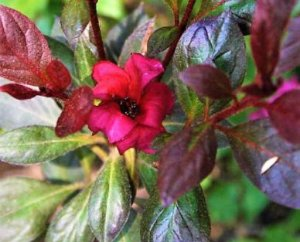 MUDA AZALÉIA RUBRA ( Rhododendron simsii ) Novidade No Brasil