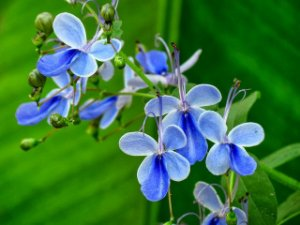 Muda de Borboleta Azul - Clerodendron Ugandense