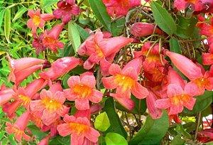 Muda Cipó Cruz (Bignonia capreolata) RARO