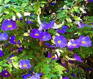 Muda de Thumbergia Arbustiva Azul - Thunbergia Erecta