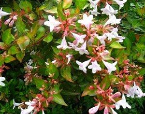 Mudas Da Flor Abélia Cor Branca - Já Florem - Atrai Abelhas