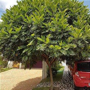 Muda de Árvore Samambaia(Sombreiro )