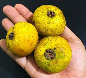 MUDA GUABIROBA GIGANTE ou GUABIRABA ( Campomanesia lineatifolia )