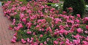Muda mini rosa arbustiva Cor Pink(Rosa)  Enxertada