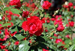 Muda mini rosa arbustiva Cor vermelha escuro   Enxertada