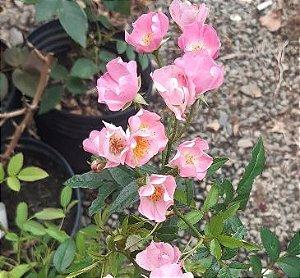 Muda mini rosa arbustiva Cor Pink    Enxertada