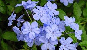 Muda Bela Emília (Plumbago auriculata) Cor Azul