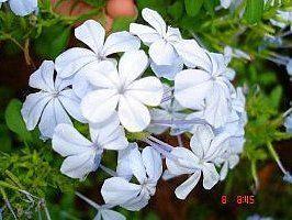 Muda Bela Emília (Plumbago auriculata) Cor Branca exótica