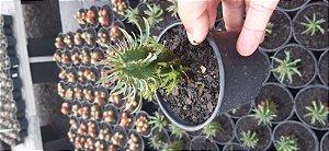 Muda De Cacto Candelabro Euphorbia Trigona Pote 3