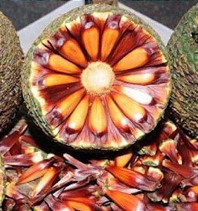 Muda de Araucária - Pinhão