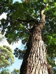 MUDA CEDRO ROSA (Cedrela fissilis) Nativa