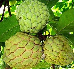 Muda fruta do conde ou pinha enxertada