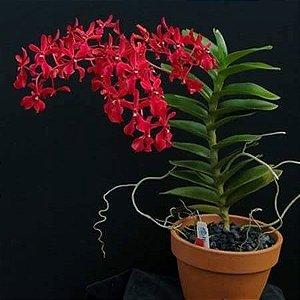 Planta pequena - Renanthera