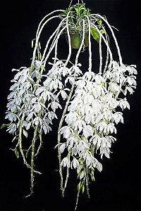Dendrobium Asnosmum Alba