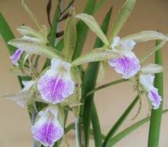 BC Fregoniana (Brassavola Perrini x Cattleya Gutatta)