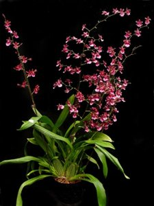 Oncidium Sherry Baby 'Sweet Fragance'