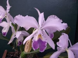 Cattleya Warnerii Coerulea