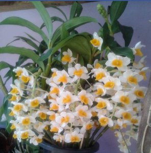 Dendrobium Thyrssiflorum adulta