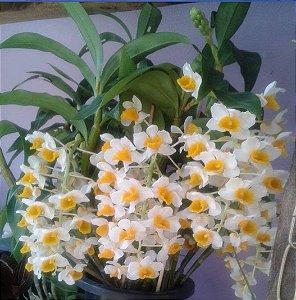 Dendrobium Thyrssiflorum adulta