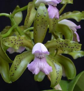 Cattleya Leopoldi var. coerulea adulta