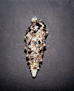 vertagus aluco 6 cm - 750gr