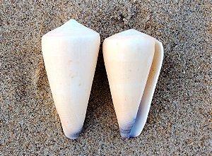 conus virgo 5 cm - unid