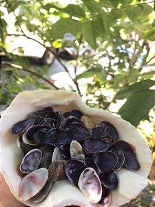 cay-cay shell ( dosinia trosheli ) purple  - 750gr