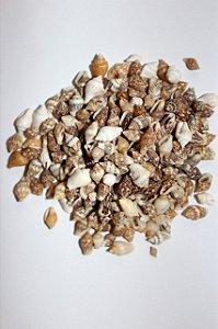 nassa shell - (pyrene testudinaria) - 750gr