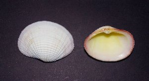 fimbria fimbriata unpair - 750gr
