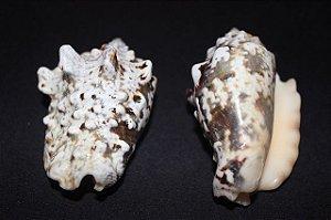 strombus lenteginosus - 750gr