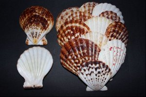 comptopallium radula - scallop shell 6 cm - 750gr