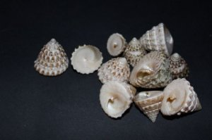 torong t. natural white (tectus fenestra) 3 cm - 750gr