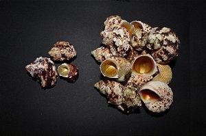 gold mouth  (turbo chrysostomus ) 4 cm - 750g